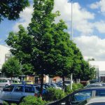 Acer platanoides (Spitzhorn) 2008